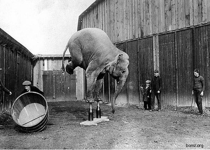 слон цыркач