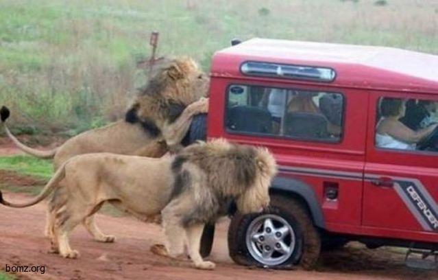 Львиная атака