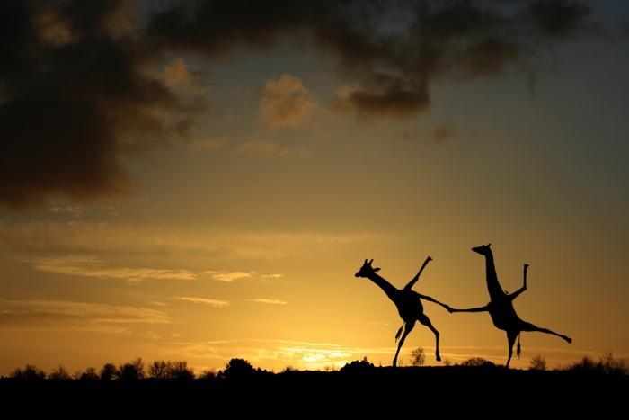 назад · веселые жирафы...