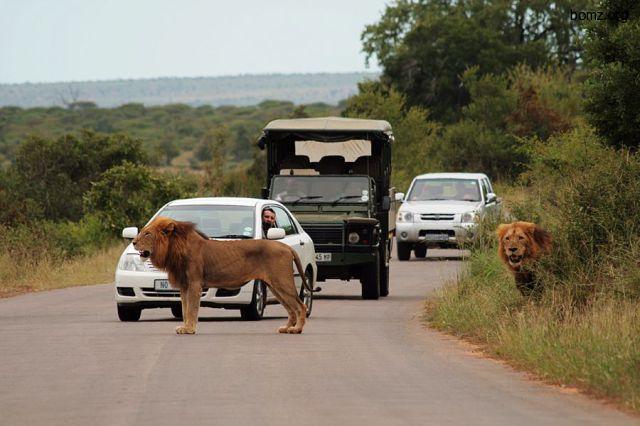 лев среди дороги