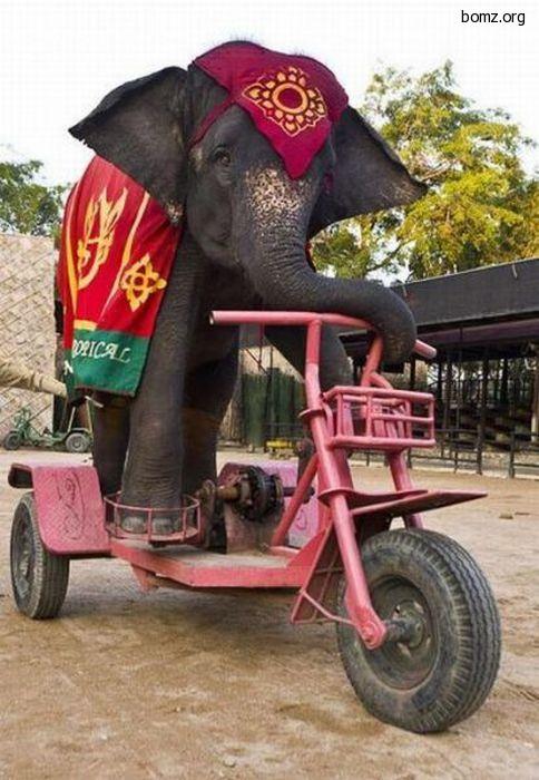 слон на велике