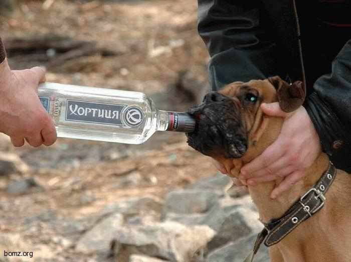 водка собаке при отравлении карты