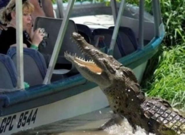 Крокодил позирует